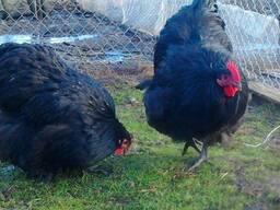 Продаю инкубационные яйца кур породы Орпингтон черный.