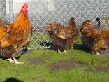 Продаю инкубационные яйца кур породы Орпингтон золотой. - фото 1