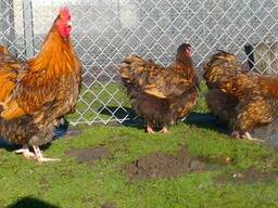 Продаю инкубационные яйца кур породы Орпингтон золотой.
