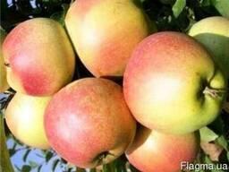 Продаю оптом яблоки из своего сада.