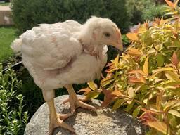 Продаж підрощених курчат м'ясної та м'ясо-яєчної породи
