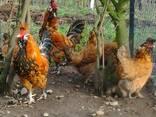 Продажа инкубационных яиц кур породы Павловская золотая. - фото 1