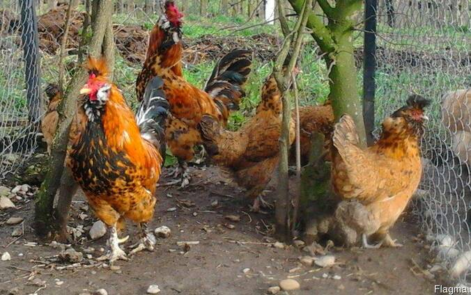 Продажа инкубационных яиц кур породы Павловская золотая.