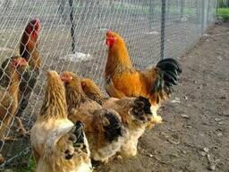 Продажа инкубационных яиц кур породы Брама желто-черная.