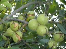 Продажа орехового сада херсонская область