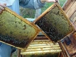 Продажа пчелиных Маток 2019 года Карпатка Плодные матки , бд