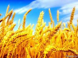 Продажа пшеницы 3, 6 кл. с элеватора