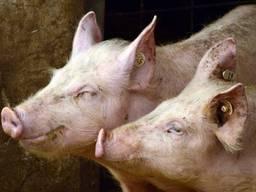 Продажа свиней живым весом 40 грн.