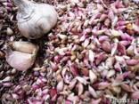 Продам семена озимого чеснока - фото 1