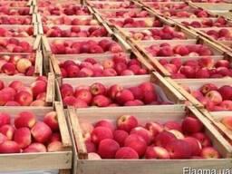 Продажа яблок для закладки Винницкая область