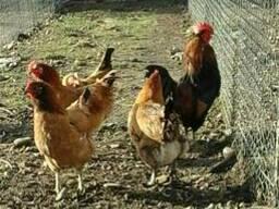 Продажа яиц кур породы Синь Дянь.