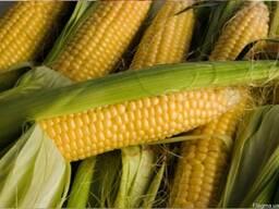 Продем посевной материал кукурузы