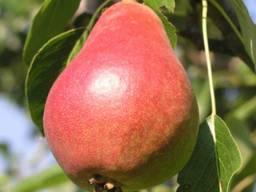 Пропонуєм саджанці груші Мадам Баллє
