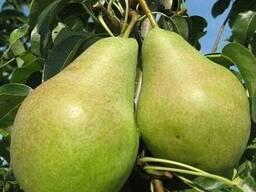 Пропонуєм саджанці груші Ноябирська