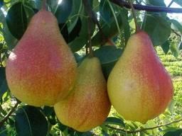 Пропонуєм саджанці груші Вільямс літній