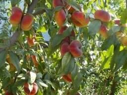 Пропонуєм саджанці персика Бельмондо (інжирний)