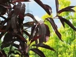 Пропонуєм саджанці персика Червонолистного Бургунді