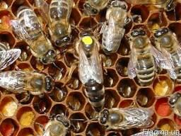 Пропоную бджоломатки Карпатки тип Вучківка, Закарпатская обл