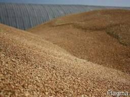 Пшеница 6 кл. в таможенном режиме транзит