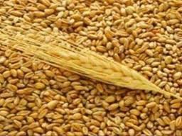 Пшеница фуражная,2,3й кл по Украине и Экспорт