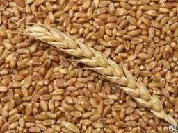 Пшеница фуражная,2,3й класс Экспорт от 100 000 тонн