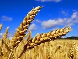 Пшеница фуражная, продовольственная