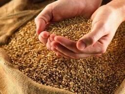 Пшеница фуражная в Макеевка Агромаркет
