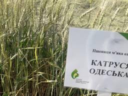 Пшеница Катруся Одесская озимый сорт остистой пшеницы