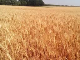 Пшеница Оранта Одесская - семена озимой пшеницы
