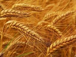 Пшеница озимая Богдана Элита
