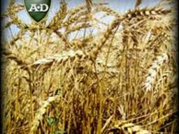 Пшеница озимая Царевна