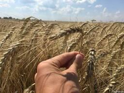 Пшеница озимая ( элита и 1 репродукция) от производителя.