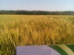 Пшеница озимая Гурт семена (новая Антоновка)