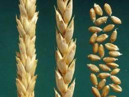 Семена пшеницы озимая Канадская селекция норма 70 кг на гек