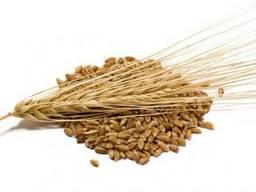Сорт элитной мягкой пшеницы Канада не ГМО не трансген