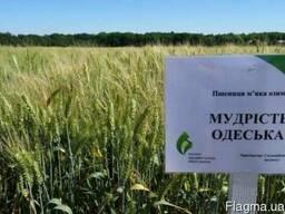 """Пшеница озимая """"Мудрість Одеська"""" - элита Украина"""