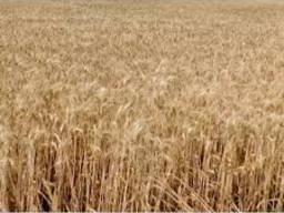Пшеница озимая Мудрость Одесская, Украина, 1репр. , элита