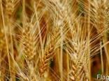 Пшеница озимая Шестопаловка (1 репрод. ) - фото 1