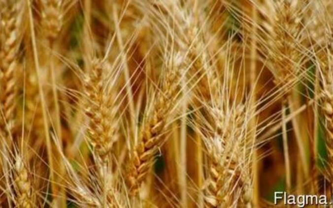Пшеница озимая Шестопаловка (1 репрод. )