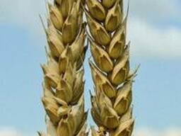 Пшеница озимая Повелия, 270-272 дня, урожайность 72-86 ц/га