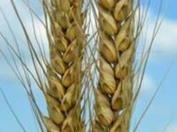 Пшеница озимая Шестопаловка