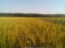 Пшеница озимая Славна (новая Смуглянка) полукарлик