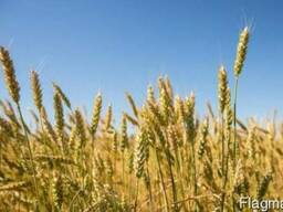 Пшеница, рапс, горох, люпин, семечка, кукуруза