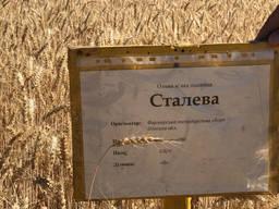 Озимая мягкая пшеница Сталева
