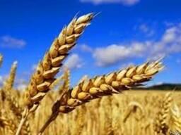 Пшеница, ячмень, кукуруза из РФ и Казахстана