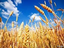 Пшеницу по Луганской области