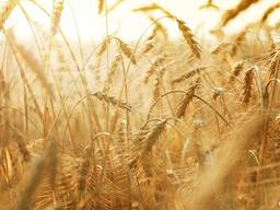 Пшениця 2 и 3 класс