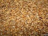 Пшениця для виготовлення борошна (зерно в мішках по 25 кг. ) - фото 1