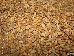 Пшениця для виготовлення борошна (зерно в мішках по 25 кг. )