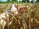 Пшениця-Дворучка Леннокс (Штрубе) - альтернативна пшениця - фото 1